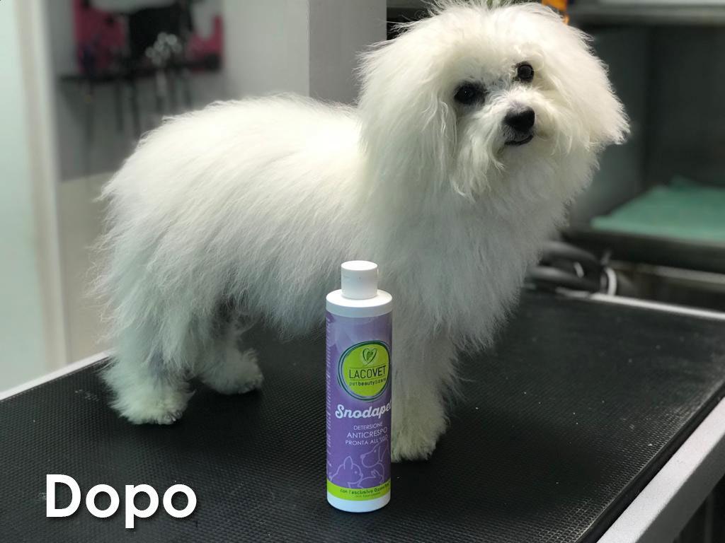 Maltese dopo il trattamento con SNODAPET DETERSIONE ANTICRESPO PRONTA ALL'USO - LACOVET pet beauty&care