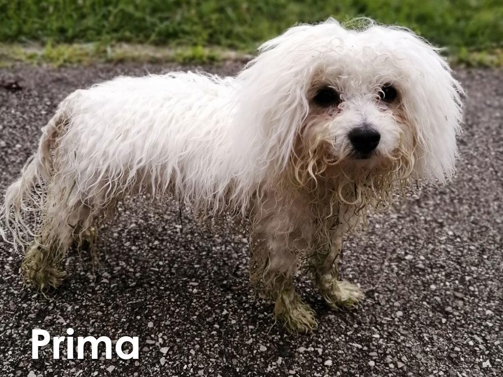 Maltese prima del trattamento con SNODAPET DETERSIONE ANTICRESPO PRONTA ALL'USO - LACOVET pet beauty&care